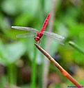 Red Dragonfly by Marilynne in Critters
