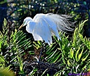 Great Egret by Marilynne