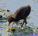 Common Moorhen by Marilynne in Wildlife