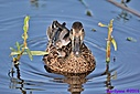 Blue Winged Teal by Marilynne in Wildlife