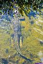 Gator and babies by Marilynne in Wildlife