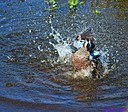 Blue Winged Teal Duck by Marilynne in Wildlife