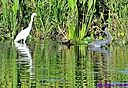 Snowy Egret Cormorant TriColored Heron by Marilynne in Wildlife
