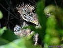Juvenile TriColor Heron by Marilynne in Wildlife