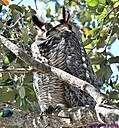 Great Horned Owl by Marilynne