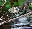 Yellow Rumped Warbler by Marilynne in Wildlife