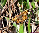 Phaon Crescent Butterfly by Marilynne