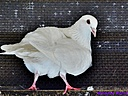 Dove by Marilynne in Wildlife