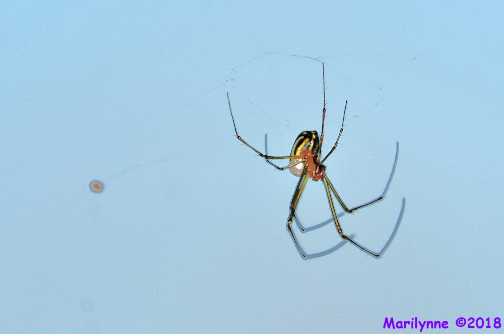 Orchard Orb-weaver Spider by Marilynne in Critters