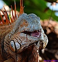 Iguana by Marilynne in Wildlife