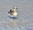 Immature Laughing Gull by Marilynne in Wildlife