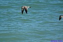 Immature Laughing Gull by Marilynne in Almost
