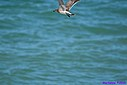 Immature Laughing Gull by Marilynne