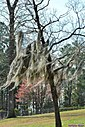 Tree with Spanish Moss by Marilynne in Plants
