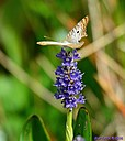 White Peacock Butterfly Pickerelweed by Marilynne in Critters