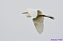 Great Egret by Marilynne in Wildlife