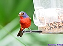Painted Bunting by Marilynne