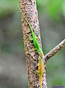 Green Anole by Marilynne in Critters