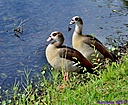 Egyptian Geese by Marilynne in Wildlife