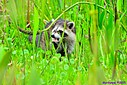 Raccoon by Marilynne in Wildlife