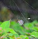 Black and Yellow Garden Spider by Marilynne in Critters