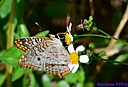 White Peacock Butterfly by Marilynne in Critters