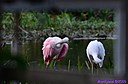 Roseate Spoonbill Ibis by Marilynne in Wildlife