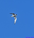 Least Tern by Marilynne in Wildlife