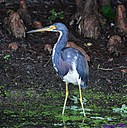 TriColor Heron by Marilynne