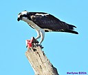 Osprey w/fish by Marilynne in Wildlife