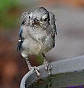 Juvenile Blue Jay by Marilynne in Wildlife