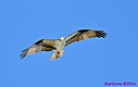 Osprey by Marilynne in Wildlife