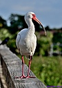 Ibis by Marilynne