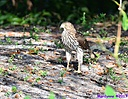 Coopers Hawk by Marilynne in Wildlife