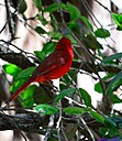 Male Cardinal by Marilynne in Almost