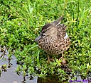 Blue Winged Teal by Marilynne