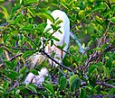Great Egret and her chicks by Marilynne in Wildlife