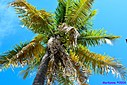 Coconut Palm by Marilynne in Plants