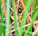 Common Yellowthroat by Marilynne in Almost