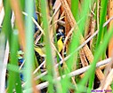 Common Yellowthroat by Marilynne in Wildlife