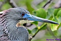 TriColored Heron by Marilynne