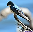 Swallow by Marilynne in Wildlife