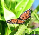 Viceroy Butterfly by Marilynne in Critters