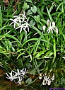 Swamp Lily by Marilynne in Plants