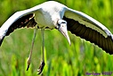 Wood Stork by Marilynne