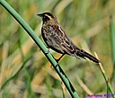 Red Winged Blackbird by Marilynne