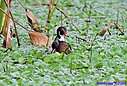 Wood Duck by Marilynne in Wildlife
