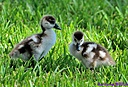 Egyptian Goose Goslings by Marilynne in Wildlife