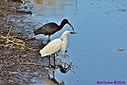 Snowy Egret Glossy Ibis by Marilynne in Wildlife