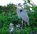 Momma Great Blue Heron and her babies by Marilynne in Wildlife